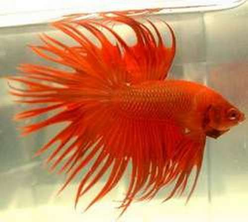 17 best images about bettas for How much does a betta fish cost