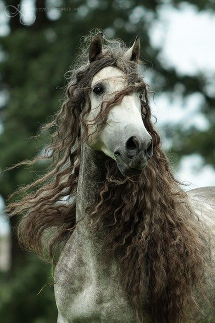 Dappled with curls: Beautiful Horses, Born Free, Curls, Locks, Gorgeous Hair, Through, Curly Hair, Animal, Fairies Tales