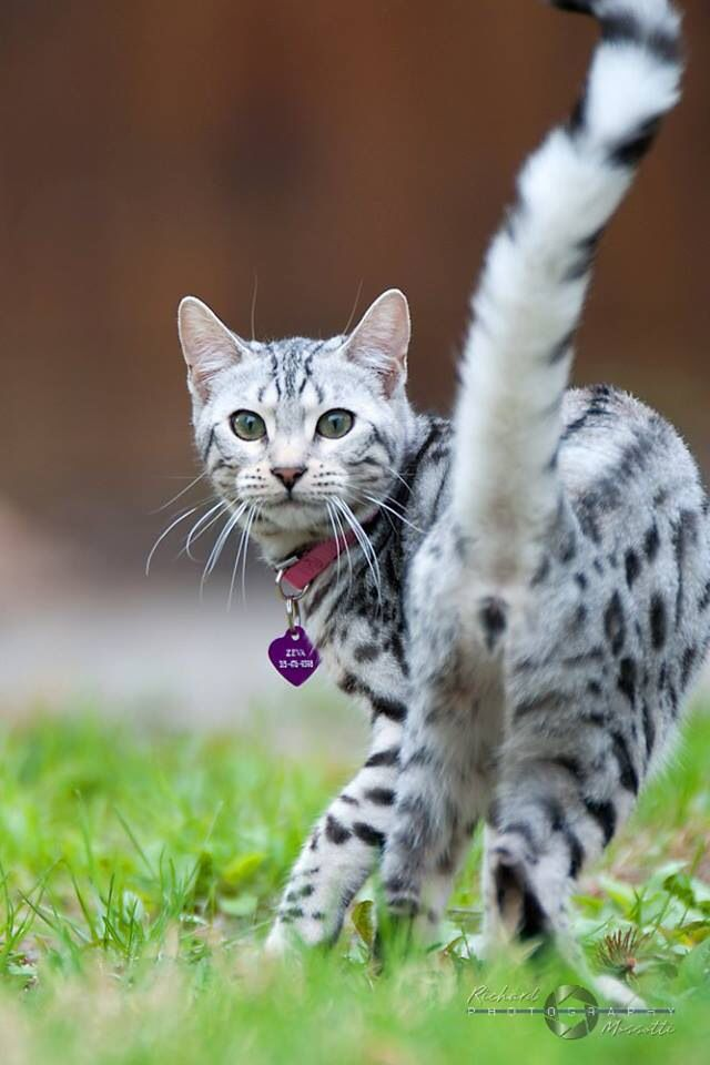 36 Best Images About Silver Bengal Cats On Pinterest