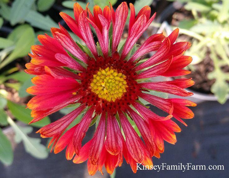 Fanfare Blaze Gaillardia Blanket Flower - sun loving perennial plant