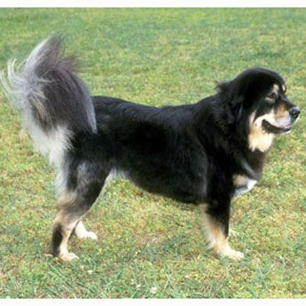 Learn all about Tibetan Mastiff Dog.