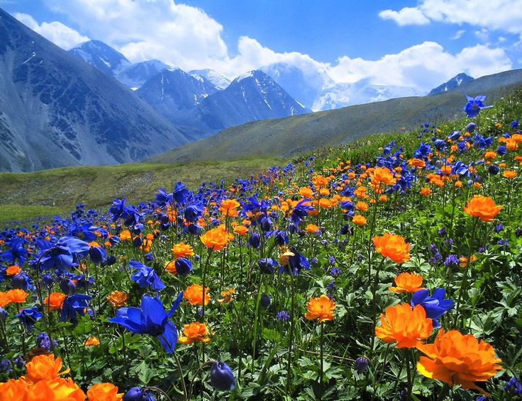High-altitude meadows in bloom. Altai, near Belukha Mountain