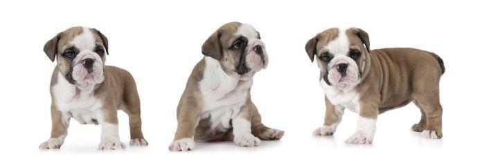 Photo Collage Of English Bulldog Puppy Six Weeks Old Bulldog