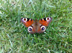 Tagpfauenauge Schmetterling (butterfly)