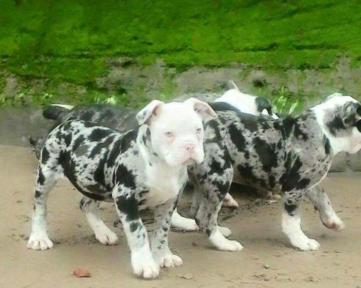 Merle ~ Alapaha bulldog  gorgeous