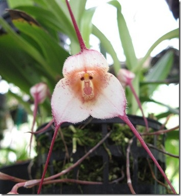 orquídea cara de Macaco: Finca Dracula, Monkey Faces, Nature, Monkey Orchids, Gardens, Faces Orchids, Monkey Orchidi, Flower, Awesome Stuff