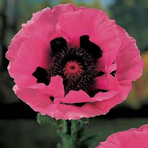 ~~ Raspberry Queen Oriental Poppy ~~