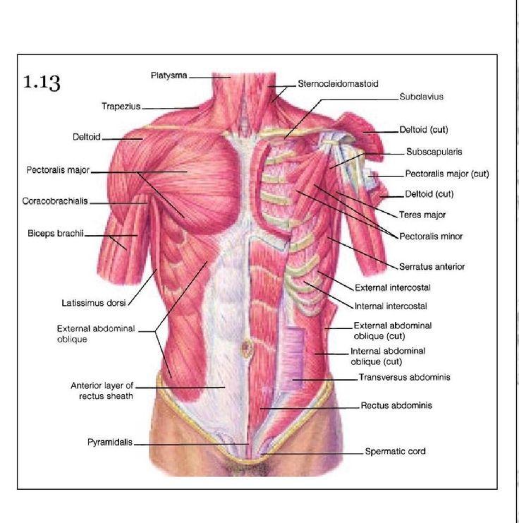 Mejores 48 imágenes de anatomy en Pinterest | Anatomía humana, Arte ...