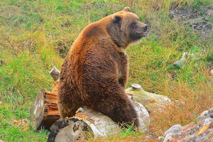 118 besten Bears Bilder auf Pinterest | Bären, Eisbären und Grizzlybären