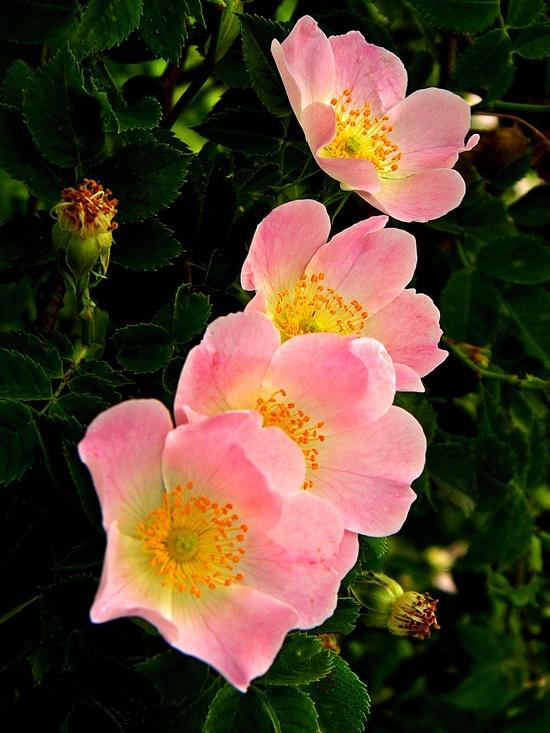 Wild Roses~most fragrant rose I've ever smelled.