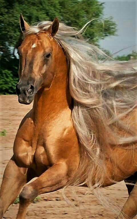 Gorgeous golden horse! Long luxurious mane!