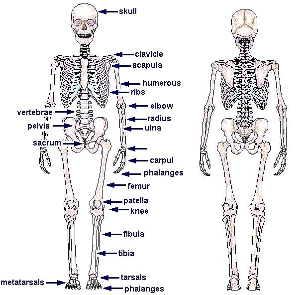 Diagram Incidents Body Diagram Added To U0026 39 Body Parts Affected