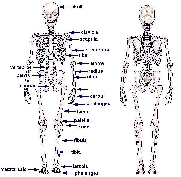 Free Diagrams Human Body | human skeleton chart diagram