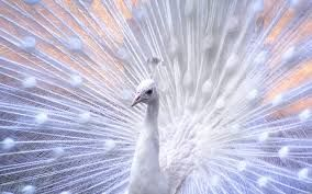 Image result for white birds images