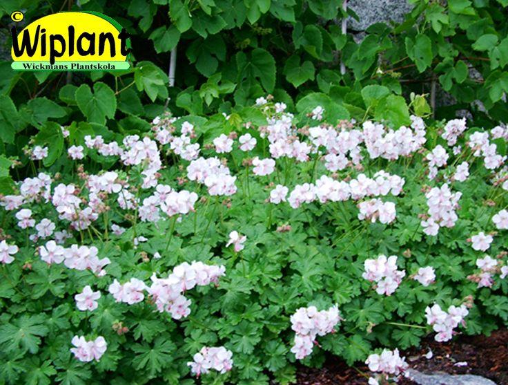 Geranium x cant. 'Biovoko', Rödbladig näva. Vita blommor i juni-juli. Läge: sol-halvskugga. Vintergrön. Höjd: 0,2 m.
