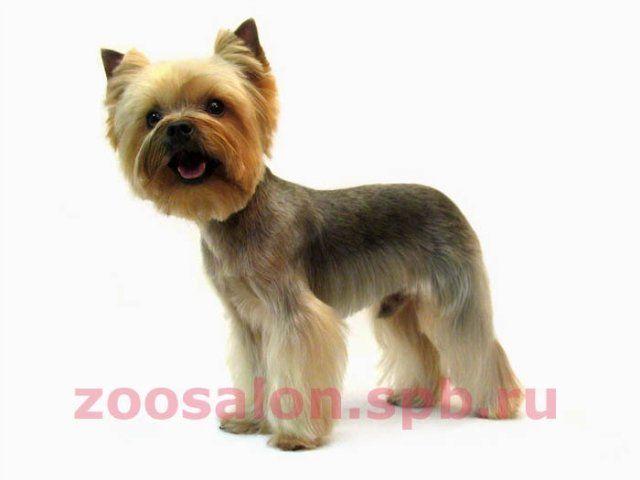 Стрижки йоркширского терьера - Груминг - Gav-Gav.by - Сайт для декоративных пород собак