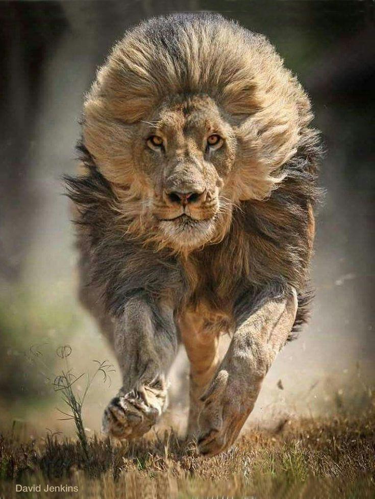 Charging lion, mane flying. Nature Lion, Animals