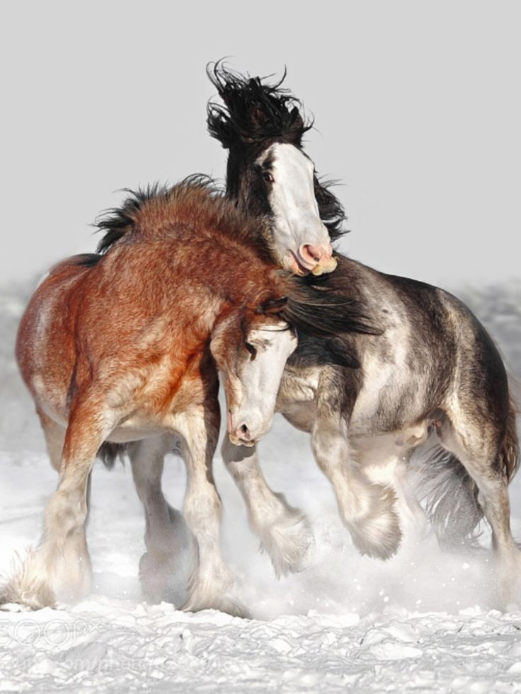 Two beautiful horses playing in the snow, I think they're Claydesdales!