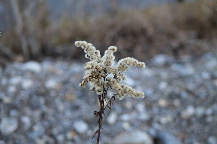 solidago virgaurea - dry beauty