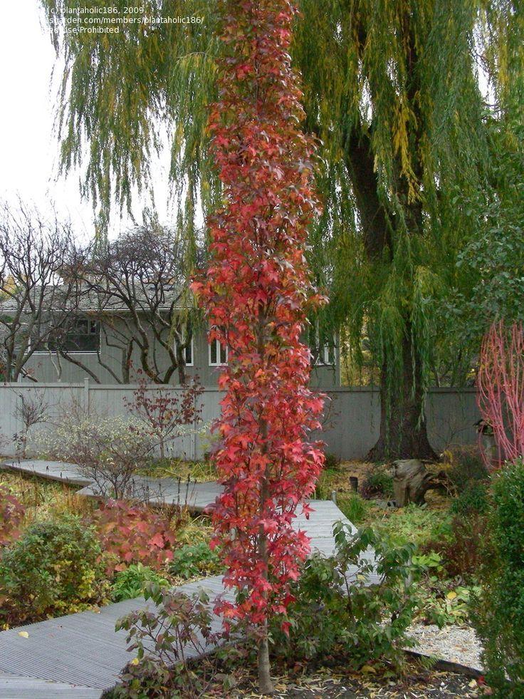 73 best columnar trees for landscapes images on pinterest for Garden deciduous trees