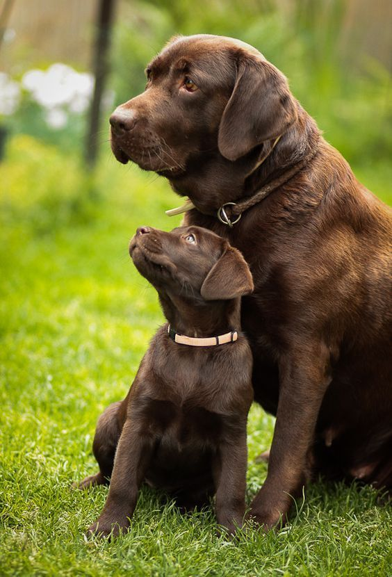 A Faithful Mother Watching Over Her Pup Such Beautiful Chocolate