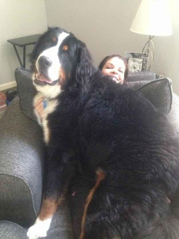 Porque cachorros grandes têm os maiores corações.   29 motivos pelos quais cachorros grandes são infinitamente melhores do que cachorros pequenos.   FAMILIAR???
