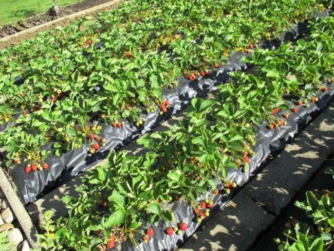 32 best planter des fraisiers sans entretien sur bache. Black Bedroom Furniture Sets. Home Design Ideas