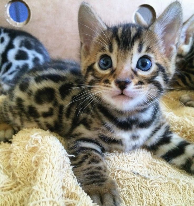Best Love Images On Pinterest Baby Animals Adorable - This is pam pam the kitten with heterochromia with hypnotic eyes you just cant stop looking at