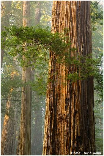 California redwood (Sequoia sempervirens) - photo by David Cobb