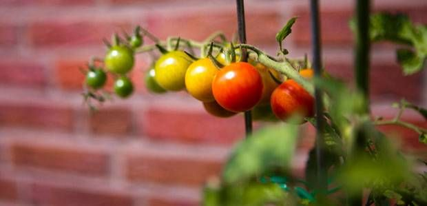die besten 25 tomatensorten ideen auf pinterest. Black Bedroom Furniture Sets. Home Design Ideas