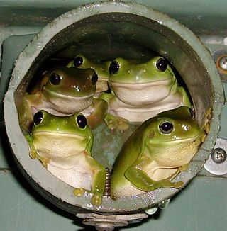 """-WHEN Melanie Osborne spotted these five frogs peering out from a rainwater pipe during a torchlit tour of her Cairns back yard, she rushed to grab the camera. """"I saw ..."""