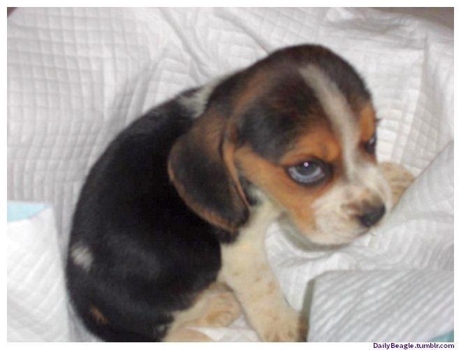 Like This Cute Beagle Puppy Beagle Puppy Cute Beagles Puppies