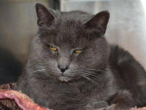 russian blue cat personality | Russian Blue. Russian Blue, Breed Russian Blue, Russian Blue Cat