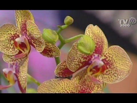 Come prendersi cura delle orchidee. I consigli preziosi di un'esperta vivaista.