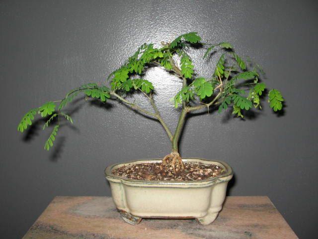 Bonsai - Brazilian Raintree Bonsai Tree, Pithecellobium
