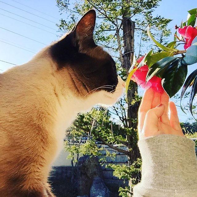 若干の猫アレルギーで、くしゃみ出すぎて鼻がぐしゅぐしゅでも、目が痒くても、まつが好きだよ〜  #小松まつ#まつ#猫#愛猫#若干#猫アレルギー#鼻#くしゃみ#痒い#可愛い#好き