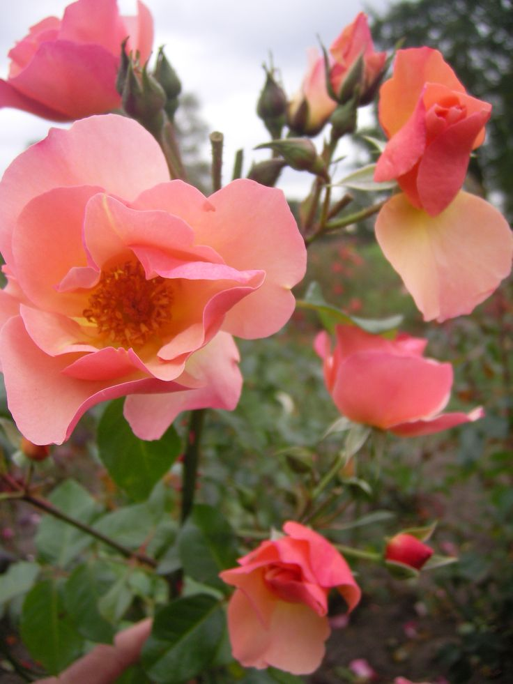 Leersum 700 www.rozenrijk.nl