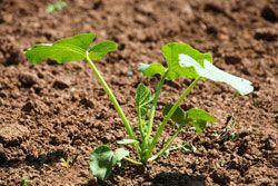 Gurken anbauen – So wird's gemacht