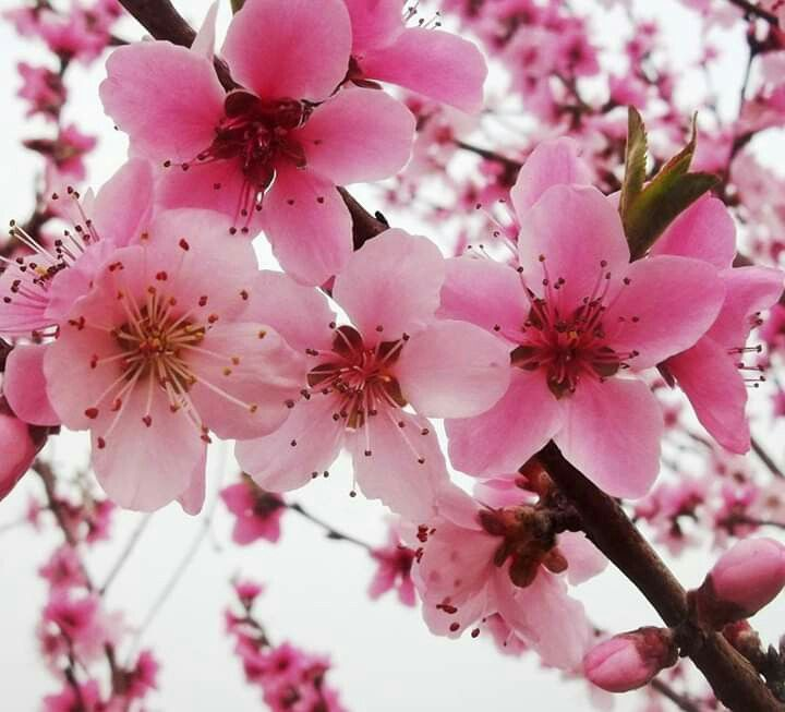 Improve Vision Japanese Cherry Blossom Flowering Cherry Tree Growing Cherry Trees