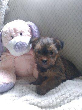 Litter of 5 Shorkie Tzu-Yorkshire Terrier Mix puppies for sale in BELLEVILLE, PA. ADN-67772 on PuppyFinder.com Gender: Female. Age: 8 Weeks Old