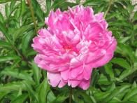 Peonies are a perennial that stands in the garden from generation to generation without missing a blooming beat. Dividing this perennial isn't recommended. If you must undertake the task, do it in fall and be sure to get at least three growing points or eyes with each division. More eyes per division are better. Peonies are hardy in Zones 3 to 8.