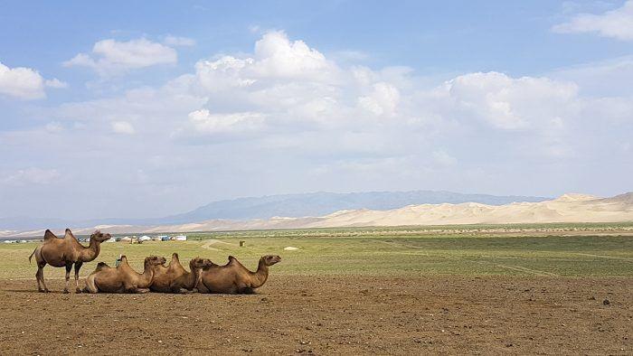 Kamelen op de steppe met de Khongor Sand Dunes op de achtergrond