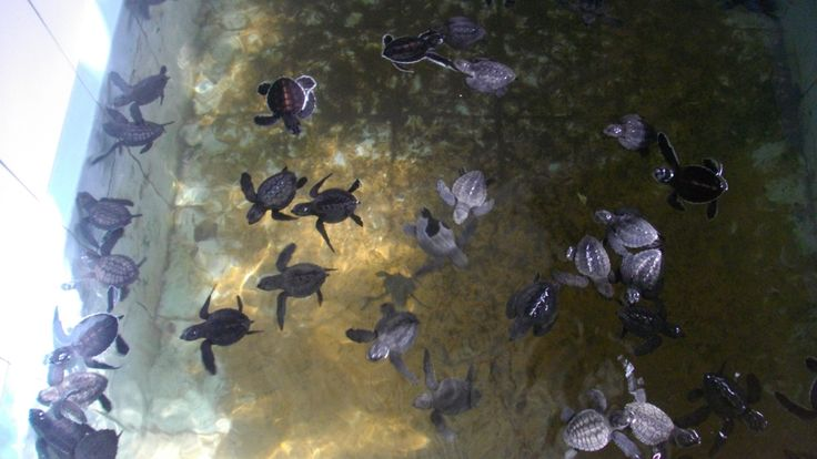 Turtle Sanctuary, Bentota Sri Lanka 1-2 day old green turtles
