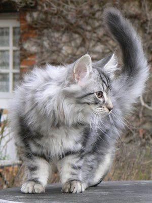 Norwegian Forest Cat: Silver Tabby = when we get a house, we need a cat