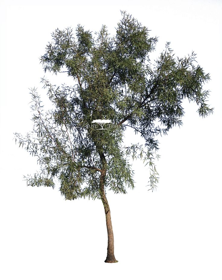 Searcia lancea | Rhus lancea | Common name: Karee (2)