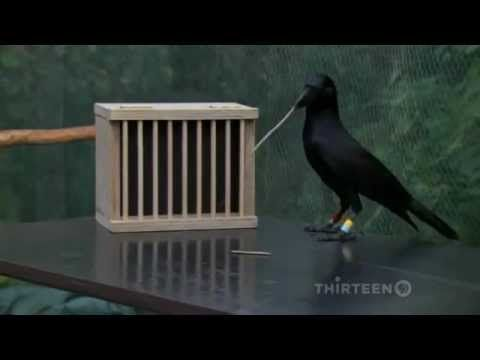 ▶ How smart is a crow? - YouTube