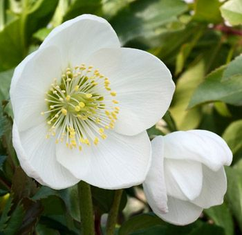 Helleborus niger. French name: Rose de Noël, Hellébore. Flowering from January to February, these lovely white flowers are sometimes tinged with pink and will brighten up any dark winters day. With evergreen foliage, hellebores are one of the earliest flowering plants and are perfect for planting in semi-shade or beneath deciduous shrubs. Deer resistant and drought tolerant too!