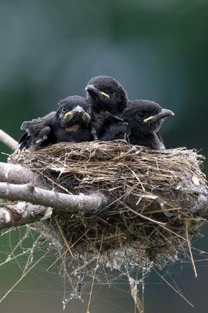 Corvid   Crow   Raven   Rook   La Corneille   Il Corvo   烏   El Cuervo   ворона   乌鸦   Baby Crows