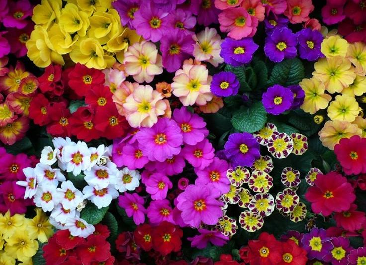 01월 28일의 꽃 - 프리뮬라 , 꽃말은 '소년시절의 희망' 출처 : 농진청 송정섭박사