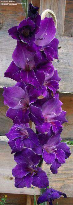 Gladiolus 'Violetta' (Gladiolus x hortulanus)